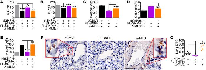 Mitochondrial SNPH regulation of metastasis. (A and B) siRNA-SNPH PC3 ce...