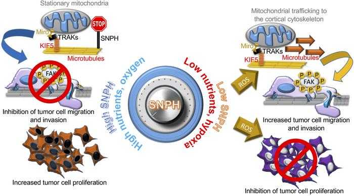"A mitochondrial SNPH ""rheostat"" for cell proliferation-motility decision..."