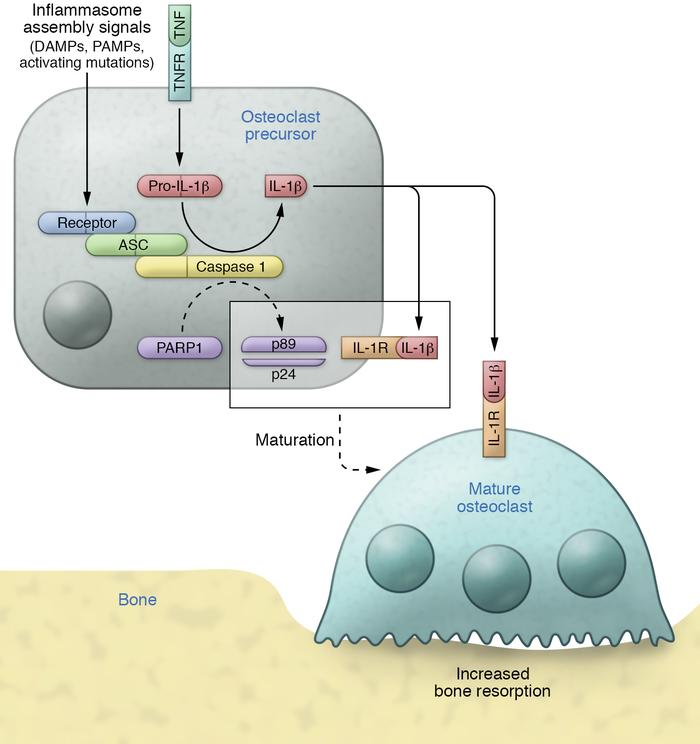The inflammasomes in osteolysis. Cytokines such as TNF induce the expres...