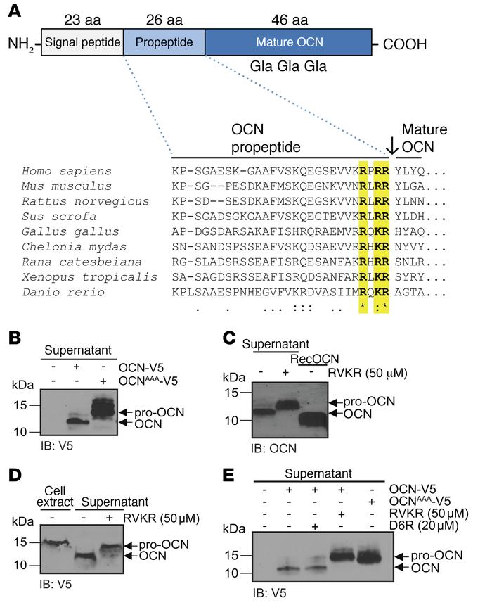 A PC cleaves pro-OCN at the RXRR motif in osteoblasts. (A) Schematic rep...
