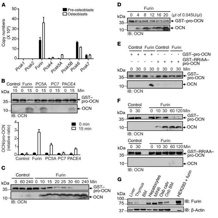 Furin cleaves pro-OCN in vitro. (A) Relative mRNA expression levels of k...