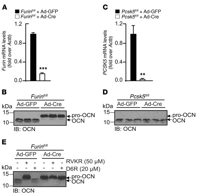 Furin but not PC5 is necessary for pro-OCN processing in osteoblasts. (A...