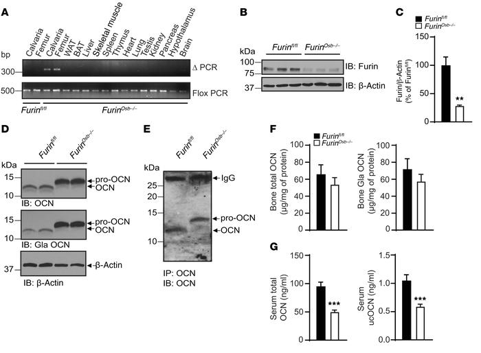 Impaired pro-OCN processing in Furinosb–/– mice. (A) Detection of the de...