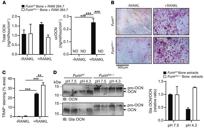 Pro-OCN is not efficiently decarboxylated by osteoclasts. (A and B) In v...