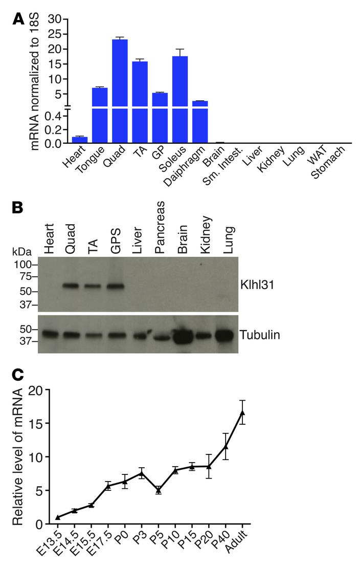Skeletal muscle-specific expression of Klhl31. (A) Quantitative reverse-...