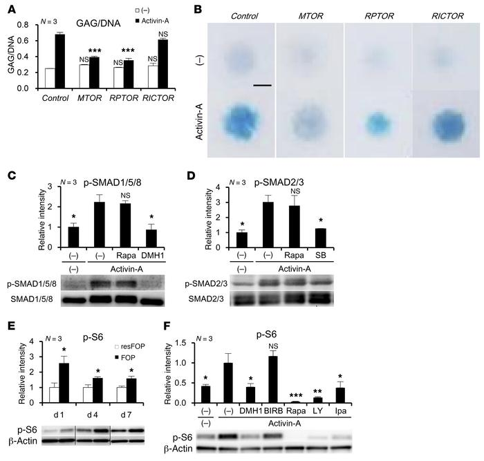 Enhanced mTOR signaling in chondrogenic induction of FOP-iMSCs. (A and B...