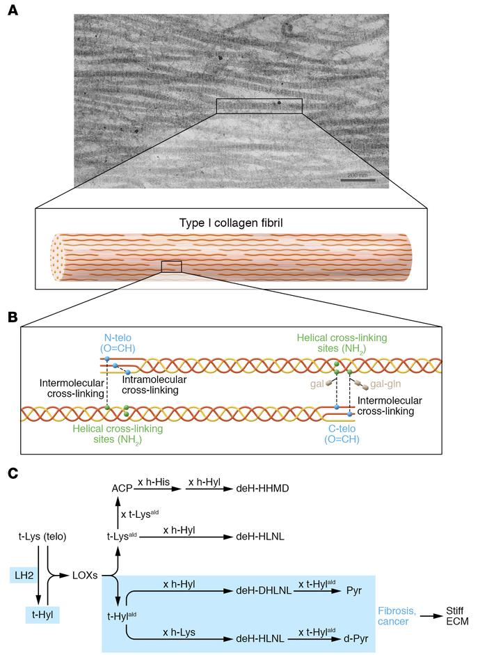 Collagen cross-linking in fibrosis and cancer. (A) Transmission electron...