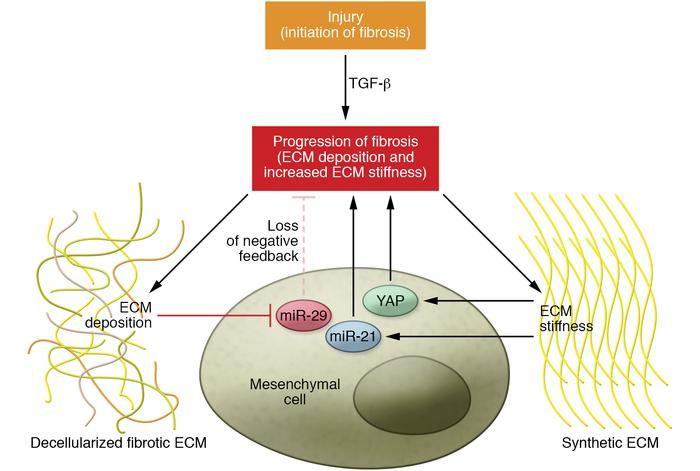 ECM-mediated feedback loops during fibrosis initiation and progression. ...