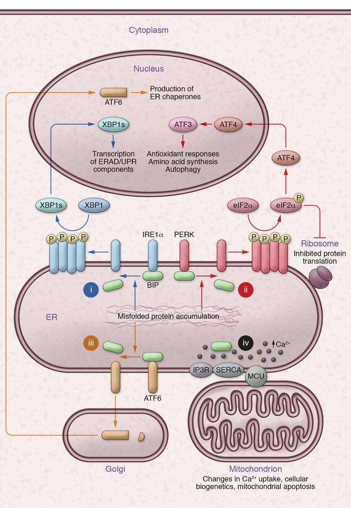 Overview of ER stress–related signaling. Bip binds to accumulating misfo...