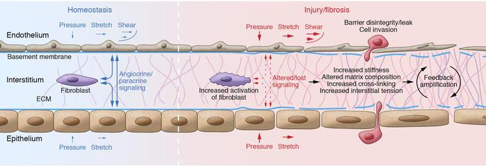 Physical and matrix changes in injury and fibrosis. This schematic shows...