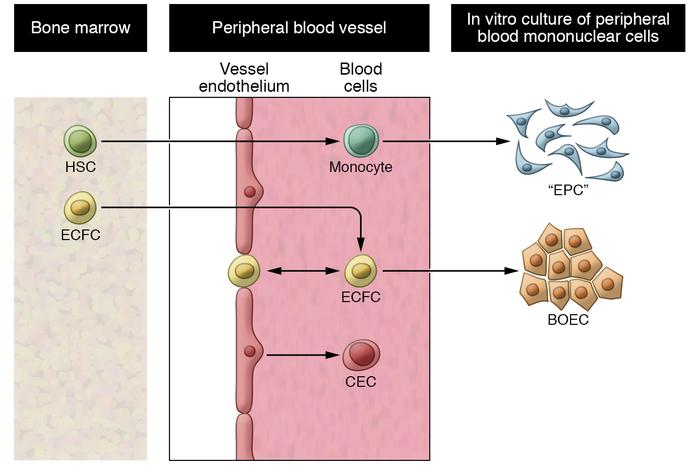 Blood endothelial cell types, origins, and culture. Circulating endothel...