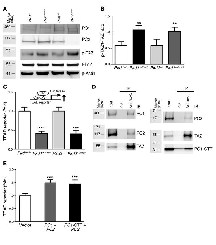 A functional link between polycystins and TAZ signaling. (A) Western blo...