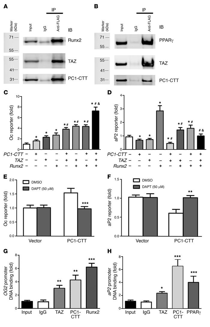 TAZ and PC1-CTT interaction differentially regulates Runx2 and PPARγ act...