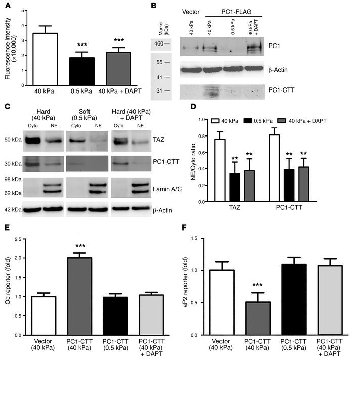 Matrix stiffness regulates Oc or aP2 promoter activities through PC1-CTT...