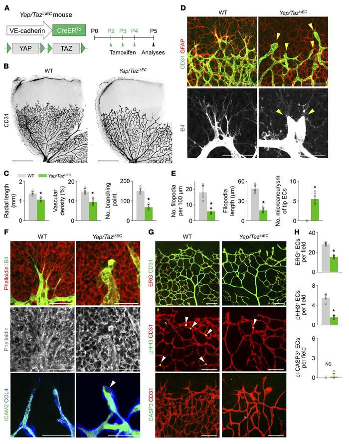 Endothelial YAP/TAZ is a crucial regulator of vascular sprouting and gro...