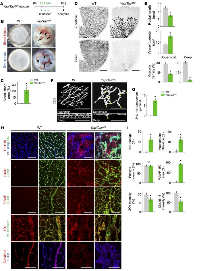 Endothelial Yap/Taz deletion impairs formation of vertical branching and...