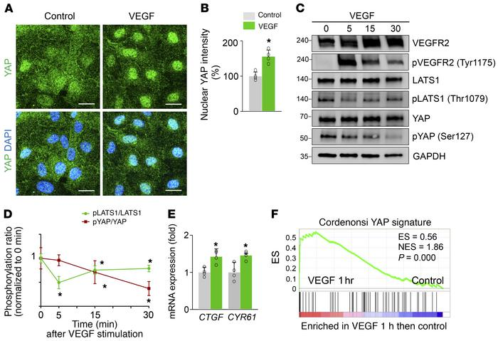 VEGF upregulates YAP/TAZ transcriptional activity in ECs. (A and B) Imag...