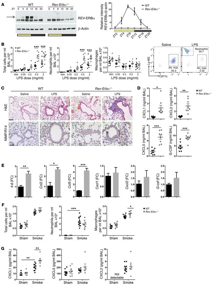 REV-ERBα plays a critical role in regulation of lung inflammation. (A) W...