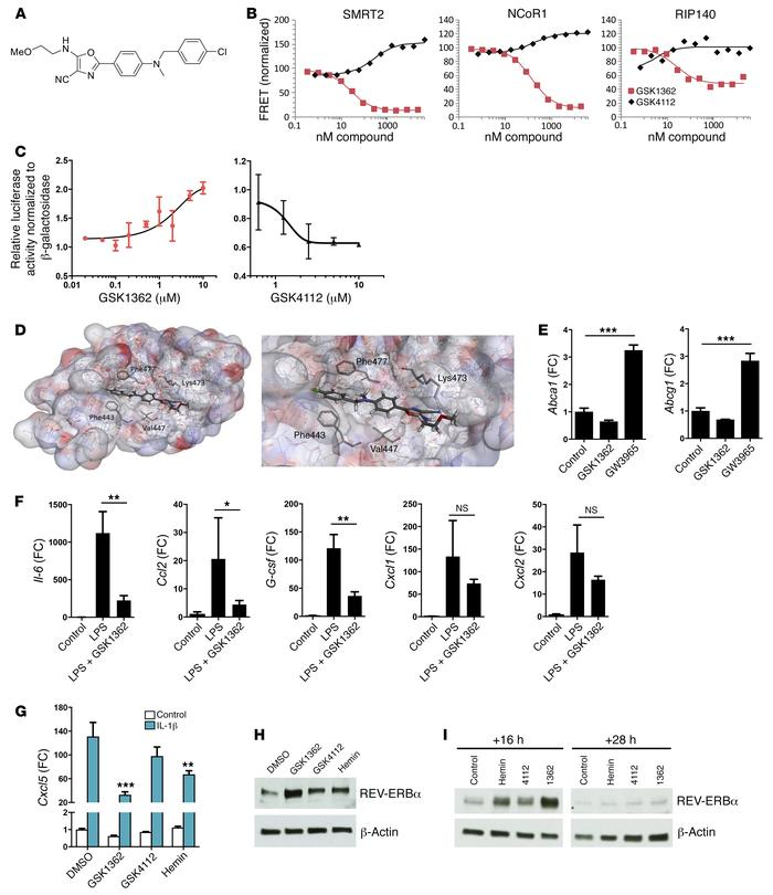 REV-ERBα ligand GSK1362 represses inflammatory genes in macrophages and ...