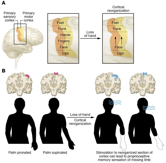 Cortical contributions to PLS and PLP. (A) Body part sensory and motor r...