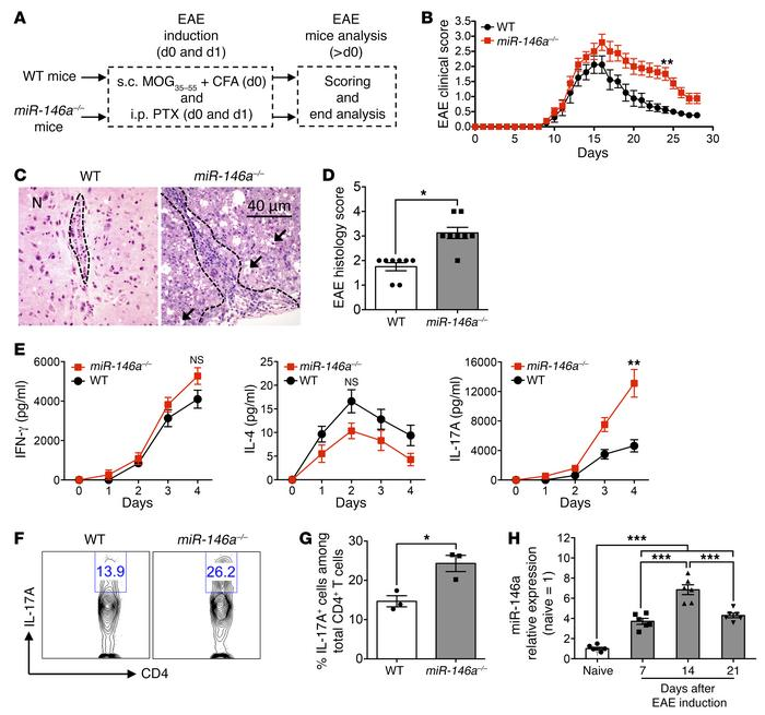 miR-146a–deficient mice develop more severe experimental EAE featuring e...