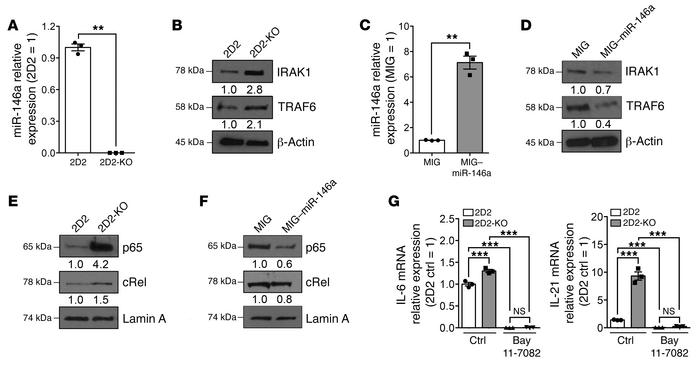 TRAF6 and IRAK1 are bona fide targets of miR-146a in autoreactive CD4 T ...