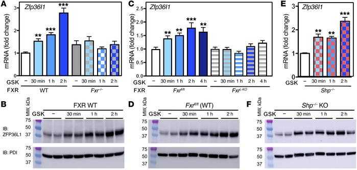 Zfp36l1 is rapidly induced following FXR activation with GSK2324. (A, C...