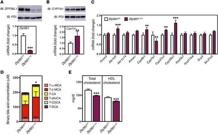 Zfp36l1L-KO mice have increased levels of CYP7A1 and bile acids in vivo...