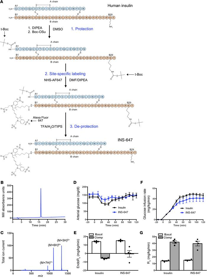 Synthesis and characterization of a novel fluorescent insulin probe. (A)...