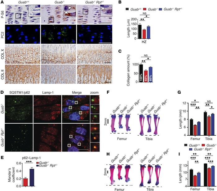 Normalization of mTORC1 signaling restores collagen trafficking and resc...