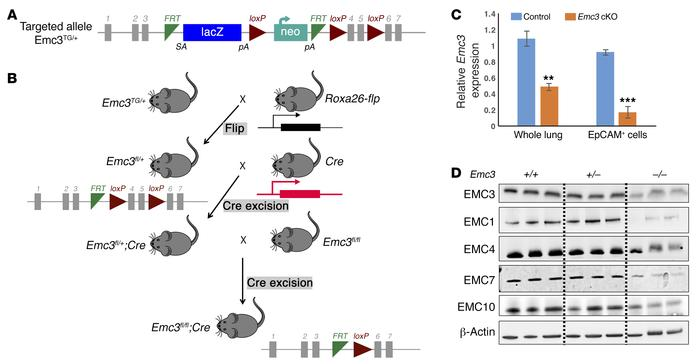 Conditional deletion of Emc3 with Shh-Cre. (A) Design of the Emc3 gene t...