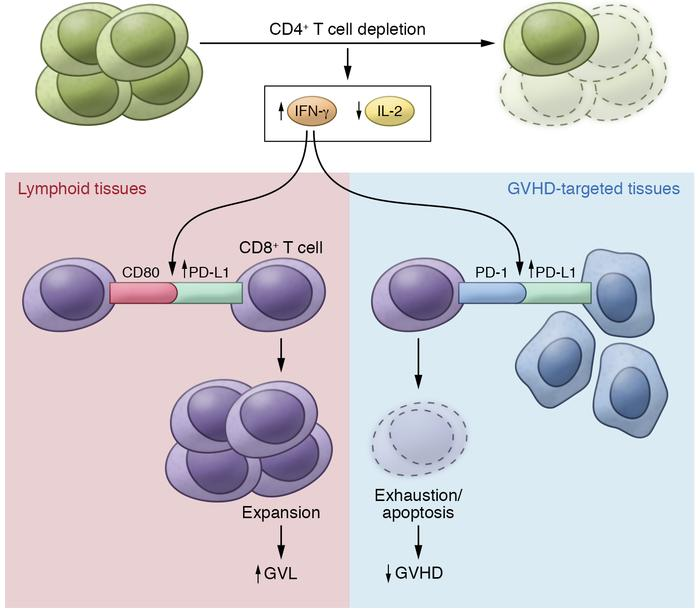 The effect of CD4+ T cell depletion on GVL versus GVHD. Depletion of CD4...