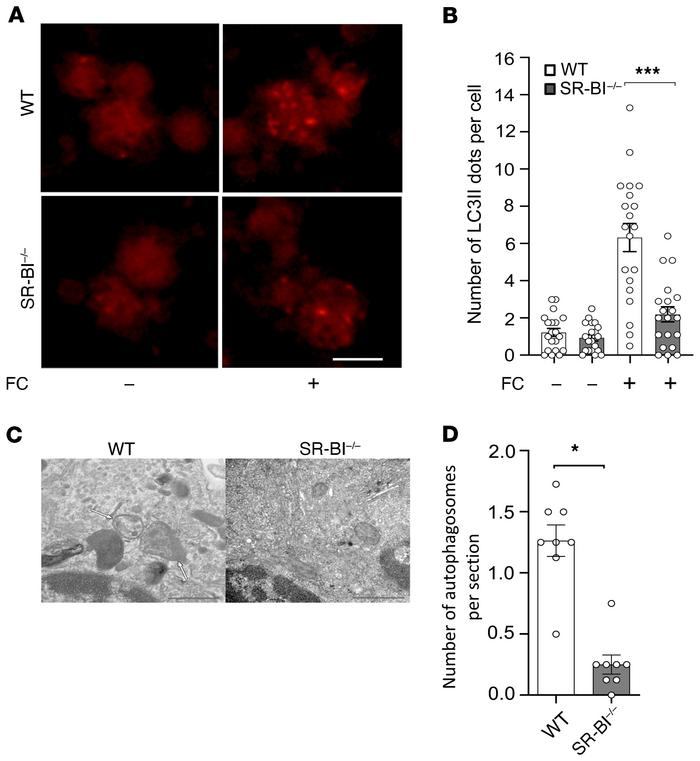 Macrophage SR-BI deficiency causes reduced numbers of autophagosomes. (A...