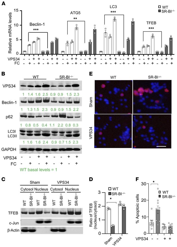Overexpression of Vps34 rescues defective autophagy and decreases apopto...