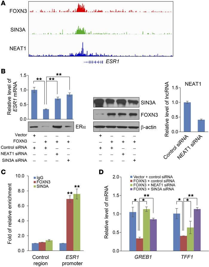 Negative-feedback regulation of estrogen response by the FOXN3-NEAT1-SIN...