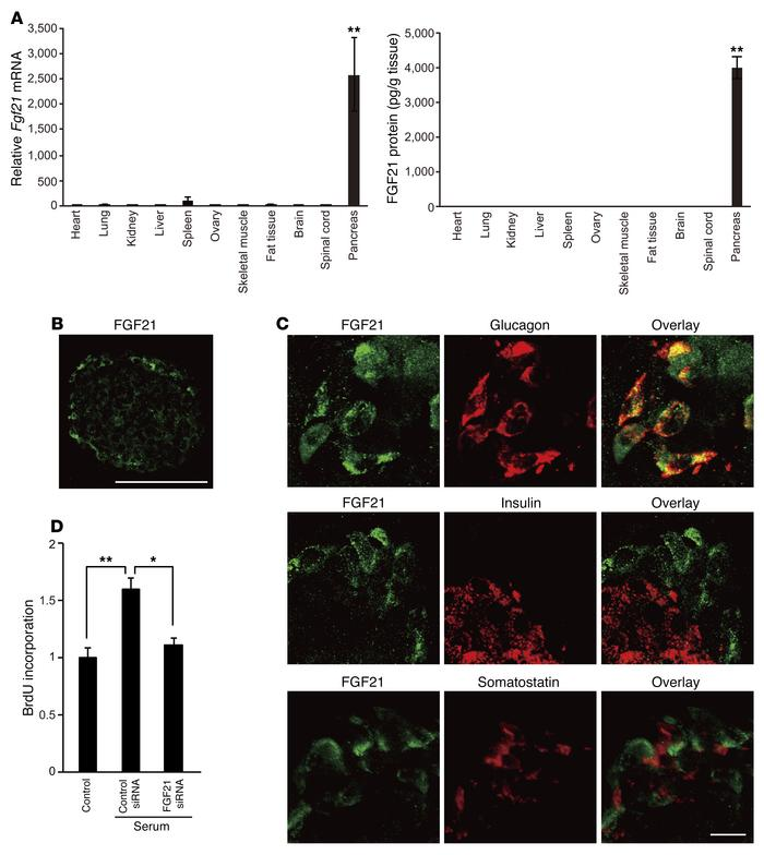 FGF21 secreted from pancreas induces OPC proliferation. (A) Quantitation...