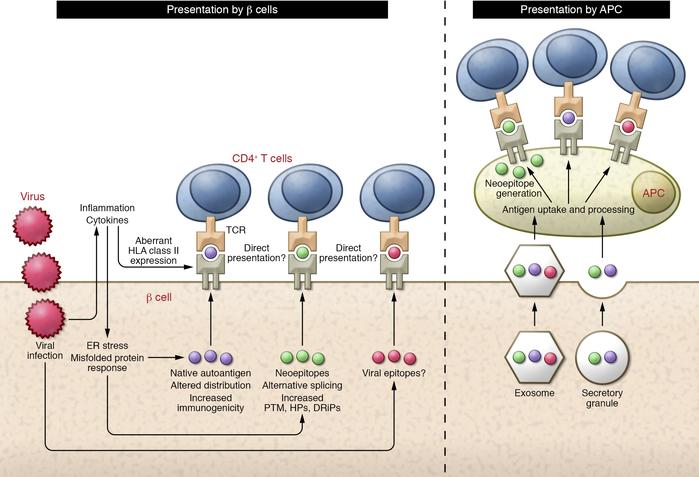 CD4+ T cell responses to pancreatic β cells. Schematic representation of...