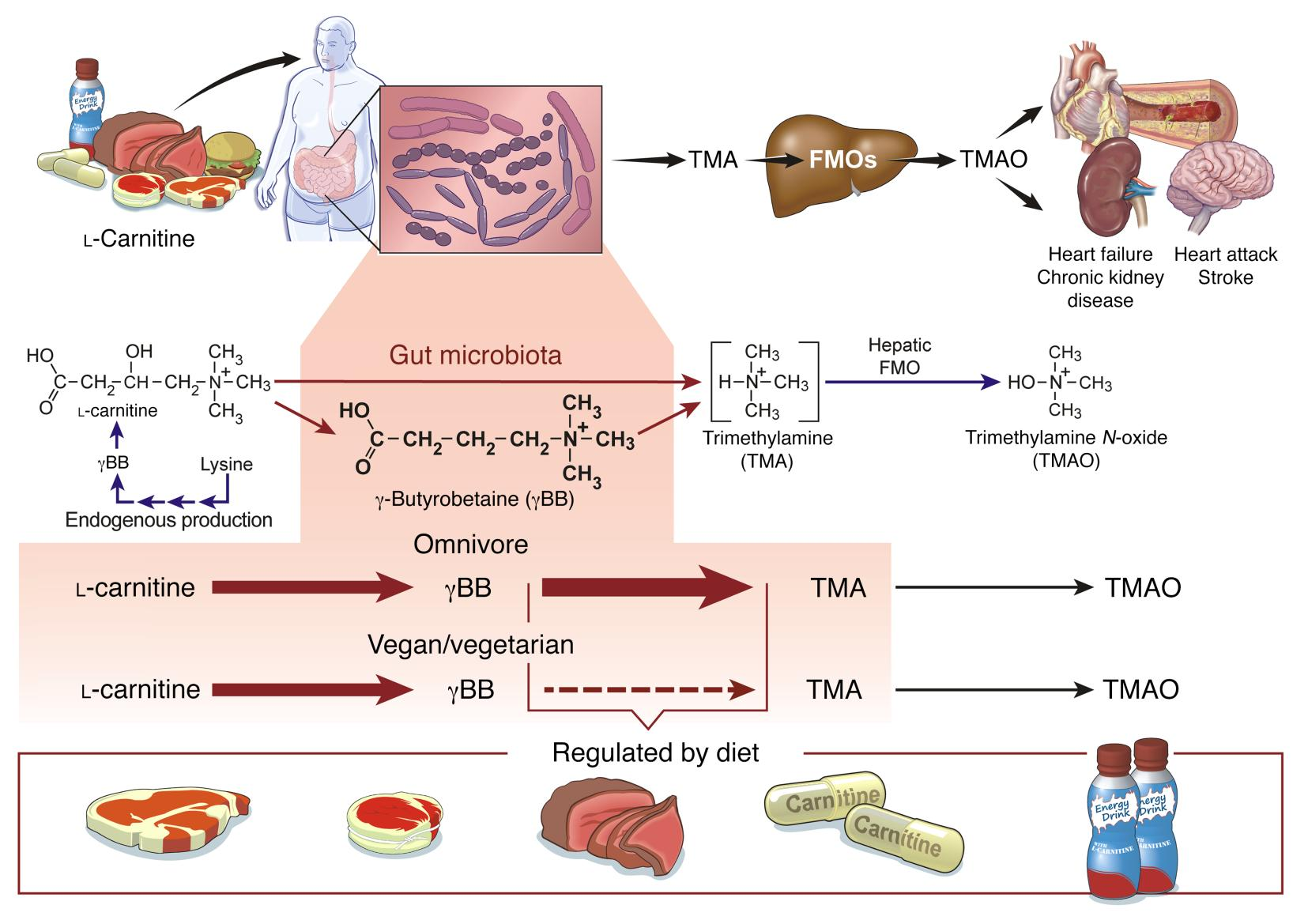 JCI - l-Carnitine in omnivorous diets induces an atherogenic