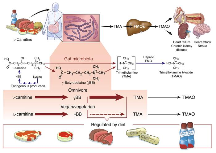 Scheme of l-carnitine and γBB metabolism in humans, links to gut microbi...