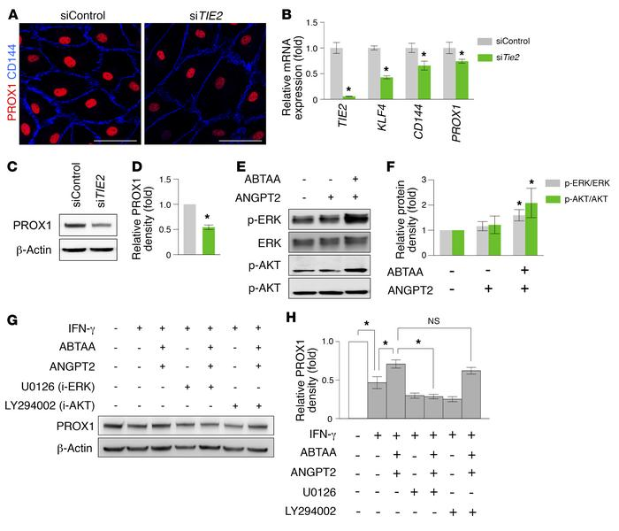 PROX1 expression in hDLECs is regulated by ANGPT-TIE2 signaling. (A) Ima...