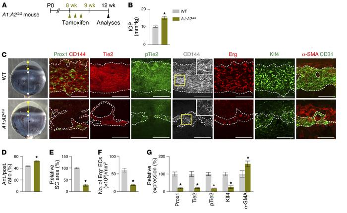Combined depletion of Angpt1 and Angpt2 in adult mice causes SC regressi...