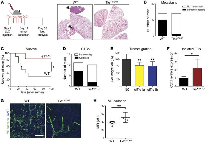 Deletion of endothelial Tie1 reduces tumor cell intravasation and limits...
