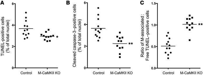 The lesions of WD-fed M-CaMKII–KO Ldlr–/– mice have less apoptosis and i...