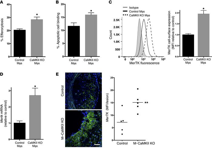 Macrophages from M-CaMKII–KO mice show improved efferocytosis and increa...
