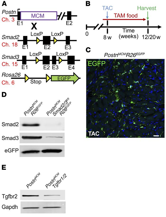 Generation of fibroblast-specific canonical TGF-β–deleted mice. (A) Sche...