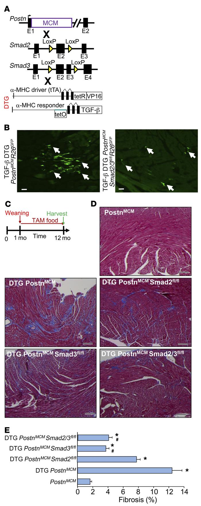 Fibroblast-specific deletion of Smad2/3 reduces TGF-β–induced myocardial...