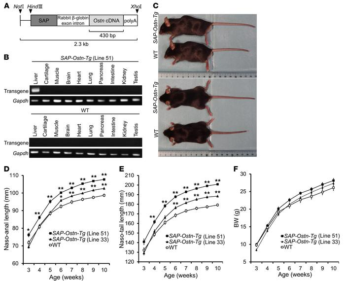 Generation of serum amyloid P–OSTN-transgenic (SAP-Ostn-Tg) mice. (A) St...