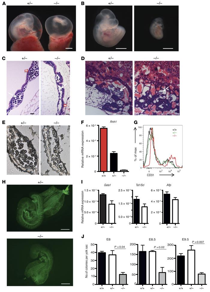 Decreased embryonic erythropoiesis in Rnh1-deficient mice. (A and B) Mor...