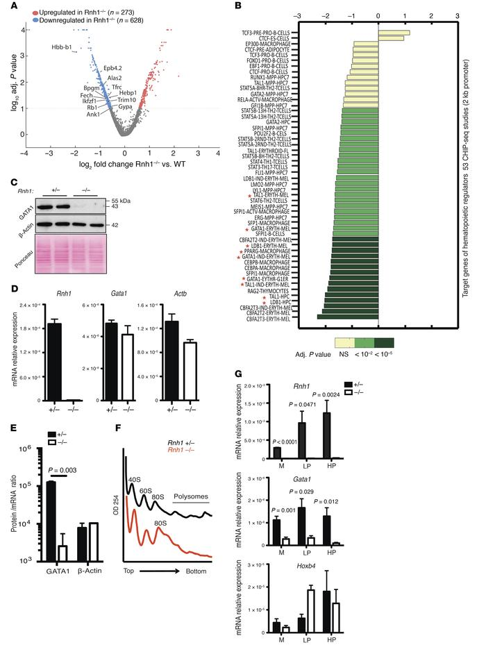 RNH1 deficiency decreases GATA1 protein levels. (A) Up- and downregulate...