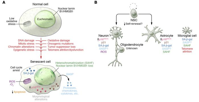 Hallmarks of senescence in CNS cells. (A) A number of stressors, both in...